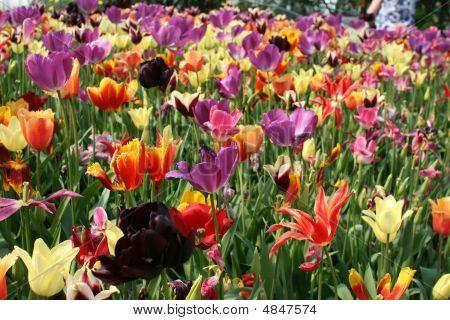 Mixed Tulips (liliaceae Tulipa)