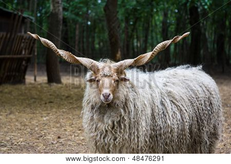 Hungarian 'racka' Sheep