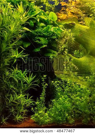 Background of the green aquarium seaweed underwater