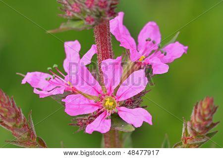 Lythrum Blumen