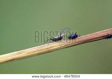 Aphids On A Green Leaf