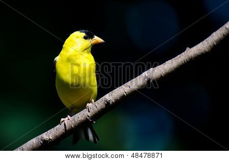 Male American Goldfinch Perched On A Branch
