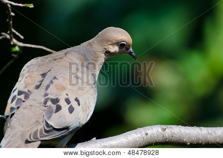 Mourning Dove Looking Sad