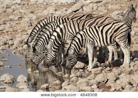 Zebra da planície (equus Quagga)