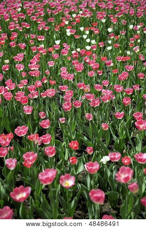 beautiful field with red summer flowers