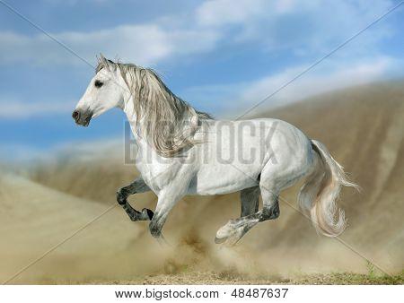 Andalusian Stallion In Desert