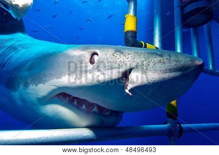 white shark in the cage