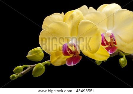 Close up ofYellow orchid isolated on black background