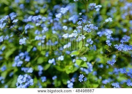 Jack frost flower