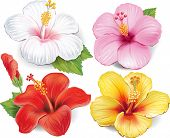 stock photo of hibiscus  - Set of Hibiscus - JPG
