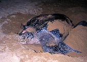 picture of egg-laying  - Leatherback Turtle coming ashore to lay eggs Grafton beach Tobago Trinidad and Tobago Caribean West Indies - JPG