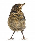 Common Blackbird or Eurasian Blackbird, Turdus merula, 15 days old, isolated on white