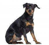 pic of jagdterrier  - Pinscher and Jagterrier crossbreed - JPG