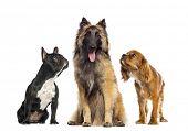Постер, плакат: Группа собаки изолированные на белом