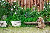 stock photo of long-haired dachshund  - Cute Blond Long haired Dachshund in flower garden - JPG