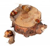 Snails On Pine-tree Stump. Top View.