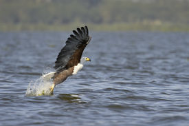 stock photo of fish-eagle  - Eagle  - JPG