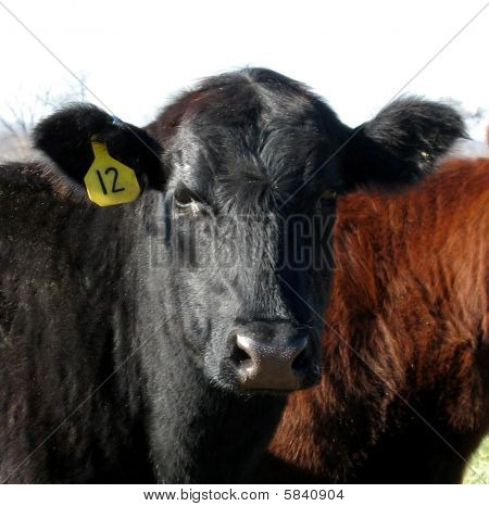 Red Angus Black Angus Calf Bull Heifer Cattle Portrait