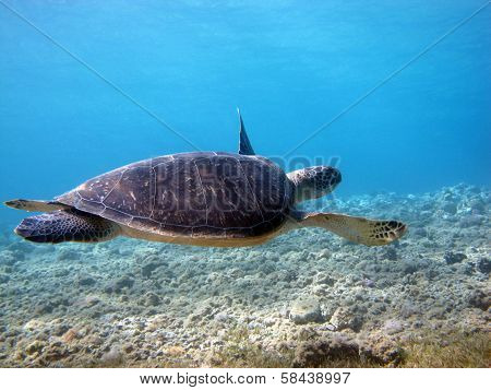Chelonia mydas green turtle