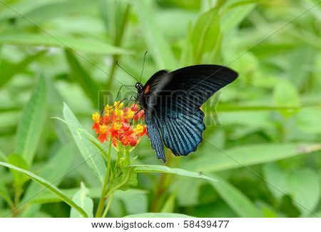 Great Mormon Butterfly (papilio Memnon)
