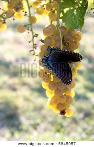 Butterfly Chardonnay