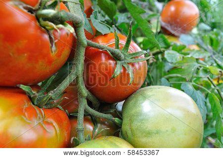 Close-up Of Ripening Tomato