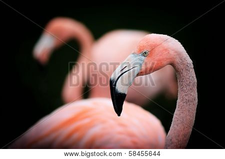 Flamingo Profile Portrait