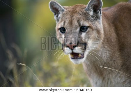 Cougar 0843