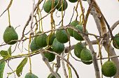 foto of avocado tree  - Avocado tree in the village La Calera on the island La Gomera - JPG