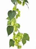 stock photo of hop-plant  - hop cones isolated on the white background - JPG