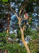 picture of arborist  - An Arborist Cutting Down a Maple Tree Piece by Piece - JPG