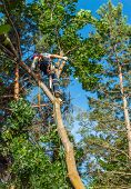 foto of arborist  - An Arborist Cutting Down a Tree Piece by Piece - JPG