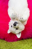 foto of swiss shepherd dog  - Baby white swiss shepherd hanging upside down - JPG