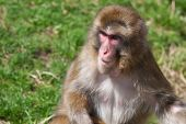 Macaque Monkey Playing In Soft Focus