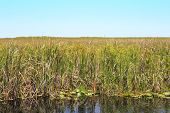 stock photo of ecosystem  - Long distance landscape view of the Everglades wildlife area in Florida established in 1947 and its ecosystem of water grasses and reeds on a bright blue sky sunny spring day - JPG
