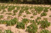 image of cassava  - Cassava Growers plantation in countryside of Thailand - JPG