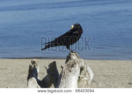 Crow On A Log Eating Cracker.