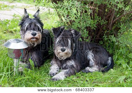 Two Miniature Schnauzer Dogs Laying Close To Each Other