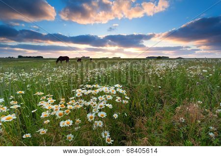 Sunset Over Summer Meadow With Chamomile Flowers