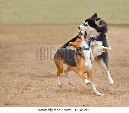 Two dogs running and playing.
