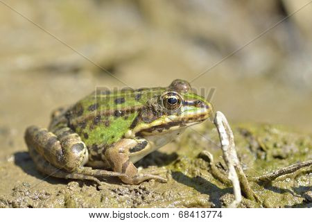 European Bullfrog In Marsh