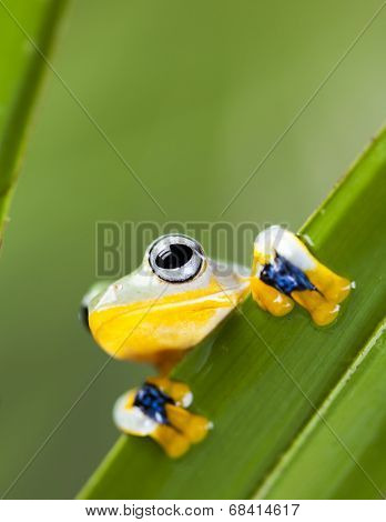 Exotic frog