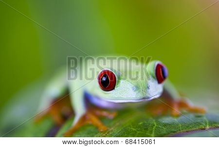 Red eyed frog