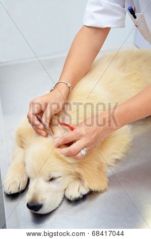 Vet treating Golden Retriever for fleas