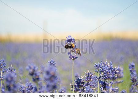 bumble bee lavender field