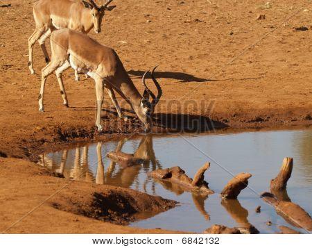 Impala drinking at waterhole.