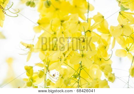 Golden Shower Or Cassia Fistula Flower