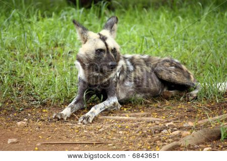 Wild Dog Surveying Land