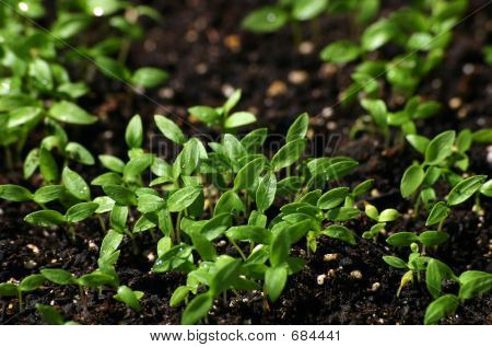 Young parsley shoots