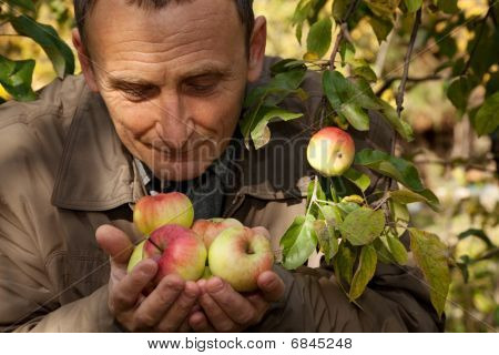 Middleaged man hold apples on hands and smell them
